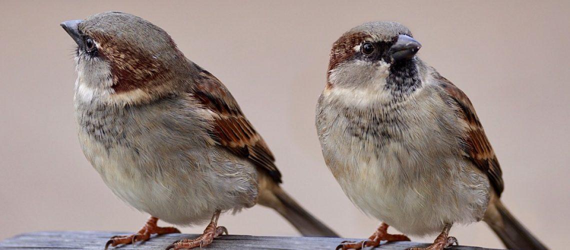sparrows-2763553_960_720